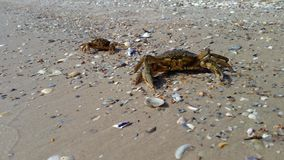 Two sea crabs on the beach, one of the crabs crawls stock footage