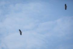Two sea eagles Royalty Free Stock Photos