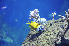 Two sea fishes above a rock Stock Images