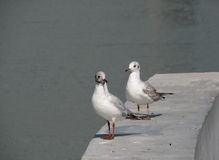 Two sea-gulls on a parapet Stock Images