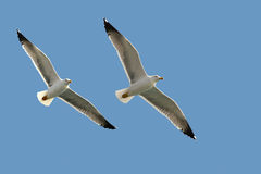 Two sea gulls Royalty Free Stock Image