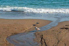 Two sea gulls searching for some food on a Black Sea wild beach. On at spring season stock photos