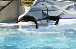 Two Sea Lion Jumping Above a Zoo Pool Royalty Free Stock Photography