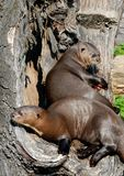 Two Sea lion Lying of Each Other Stock Images