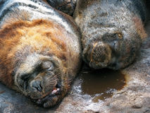 Two sea lions Royalty Free Stock Photography