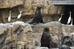 Two sea lions Royalty Free Stock Images