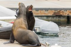 Two sea lions mouths open claiming their spot. Two sea lions on the dock mouths open claiming their spot Stock Photography