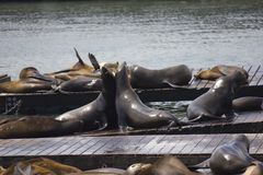 Two Sea Lions embracing Stock Photography