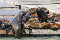 Two Sea Lions fight on a raft for the ranking. Sea Lions at San Francisco Pier 39 Fisherman`s Wharf has become a major tourist attraction Stock Photo