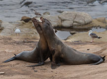 Two Sea Lions Fight Stock Images