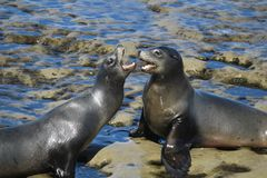 Two sea lions fighting while on the rocks in La Jolla California. San Diego Stock Photos