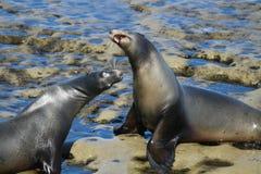 Two sea lions fighting on a rocky beach. In La Jolla California in San Diego Stock Photo