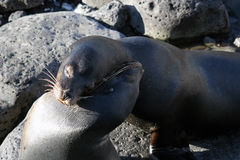 Two sea lions give a hug Stock Photography