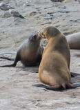 Two Sea Lions Greet Each Other Stock Photography