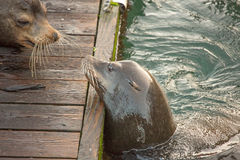 Two sea lions interact Royalty Free Stock Photography