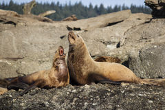 Two Sea Lions on Island Royalty Free Stock Photo