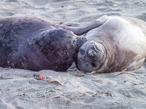 Two Sea Lions. Sea lions are lying on the sand Royalty Free Stock Image