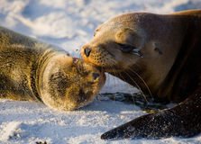 Two sea lions lying on the sand. The Galapagos Islands. Pacific Ocean. Ecuador. Stock Image