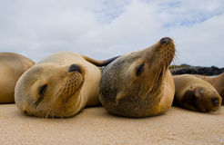 Two sea lions lying on the sand. The Galapagos Islands. Pacific Ocean. Ecuador. Royalty Free Stock Images