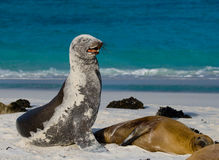 Two sea lions lying on the sand. The Galapagos Islands. Pacific Ocean. Ecuador. Royalty Free Stock Photos