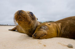 Two sea lions lying on the sand. The Galapagos Islands. Pacific Ocean. Ecuador. Stock Images