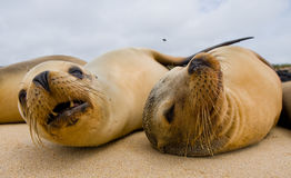 Two sea lions lying on the sand. The Galapagos Islands. Pacific Ocean. Ecuador. Stock Photography