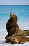 Two sea lions lying on the sand. The Galapagos Islands. Pacific Ocean. Ecuador. Stock Photo