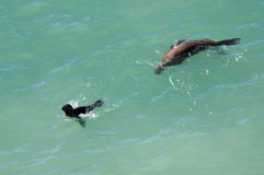 Two sea lions near Puerto Madryn Royalty Free Stock Photo