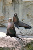 Two sea lions at Pacific Pier at Ocean Park Royalty Free Stock Photography