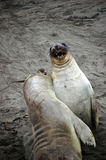 Two sea lions playing on the coast. Two sea lions play fighting on the sand along the Californian coastline Royalty Free Stock Photography