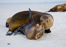 Two sea lions playing with each other. The Galapagos Islands. Pacific Ocean. Ecuador. Stock Photography