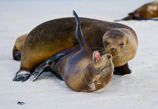 Two sea lions playing with each other. The Galapagos Islands. Pacific Ocean. Ecuador. Royalty Free Stock Image