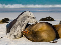 Two sea lions playing with each other. The Galapagos Islands. Pacific Ocean. Ecuador. Stock Image