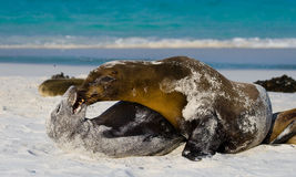 Two sea lions playing with each other. The Galapagos Islands. Pacific Ocean. Ecuador. Royalty Free Stock Images