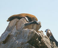 Two Sea Lions resting on Pinnacle rock at Lands End in Cabo San Lucas Baja Mexico Royalty Free Stock Image