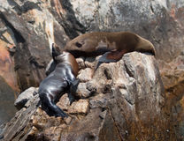 Two Sea Lions resting on Pinnacle rock at Lands End in Cabo San Lucas Baja Mexico Stock Photo