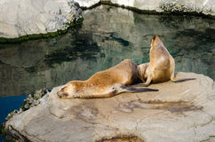 Two sea lions on a rock by the water. Two sea lions relaxing and sunbathing on a rock by the ocean Royalty Free Stock Images