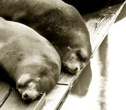 Two Sea Lions Sleeping Royalty Free Stock Photo