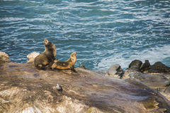 Two sea lions sun bathing with arched backs on a cliff by the ocean Stock Photos