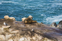 Two sea lions sunbathing on a cliff by the ocean Royalty Free Stock Photos