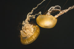 Two Sea Nettles Stock Photography