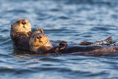 Two sea otters floating in Morro Bay, California. Two curious sea otters do the backstroke in Morro Bay on the California Central Coast. Once hunted to near stock photography