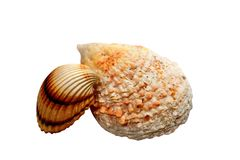 Two sea shells. Isolated on white background royalty free stock images