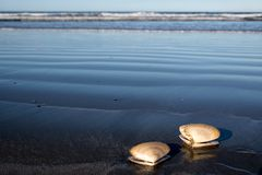 Two sea shells at the beach Stock Images