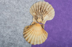 Two sea shells. Stock Photography