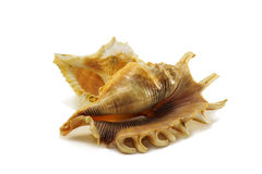 Two sea shells Royalty Free Stock Photography