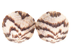 Two sea shells  of  mollusk isolated on white background Stock Photography