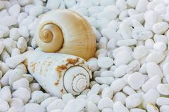Two sea shells Royalty Free Stock Photo