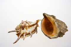 Two sea shels on isolated white Royalty Free Stock Images