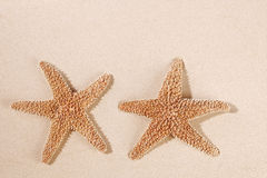 Two sea star starfish on sand backdrop Royalty Free Stock Photo